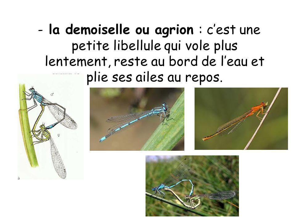 -la demoiselle ou agrion : cest une petite libellule qui vole plus lentement, reste au bord de leau et plie ses ailes au repos.
