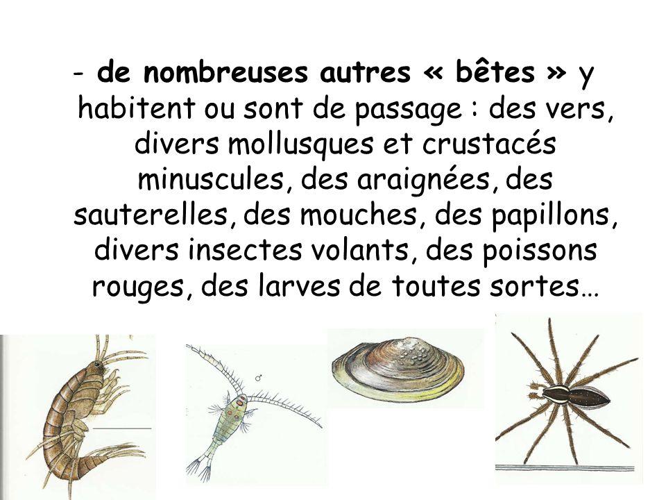 -de nombreuses autres « bêtes » y habitent ou sont de passage : des vers, divers mollusques et crustacés minuscules, des araignées, des sauterelles, des mouches, des papillons, divers insectes volants, des poissons rouges, des larves de toutes sortes…