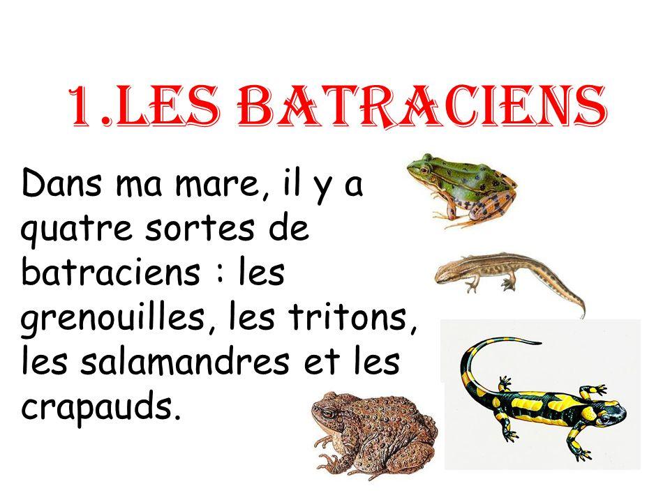 Les batraciens ou amphibiens saccouplent dans leau.
