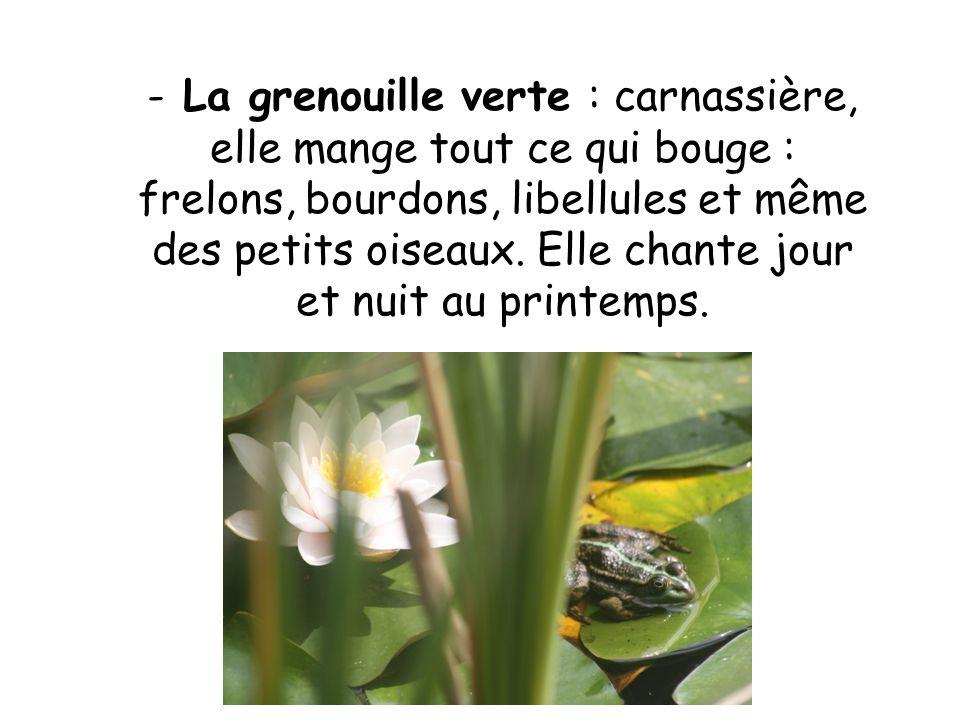 - La grenouille verte : carnassière, elle mange tout ce qui bouge : frelons, bourdons, libellules et même des petits oiseaux.