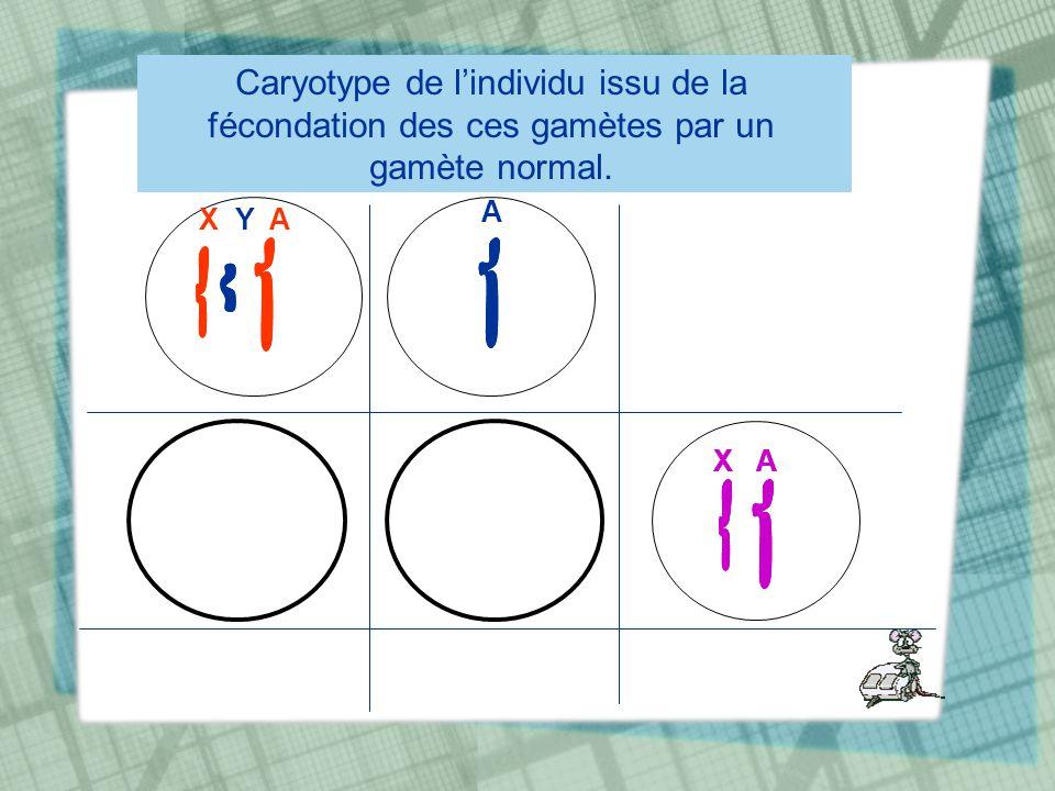 Caryotype de lindividu issu de la fécondation des ces gamètes par un gamète normal. X Y A A X A