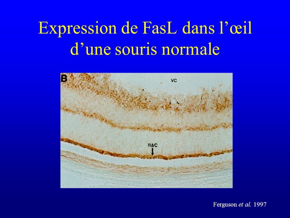 Expression de FasL dans lœil dune souris normale Ferguson et al. 1997