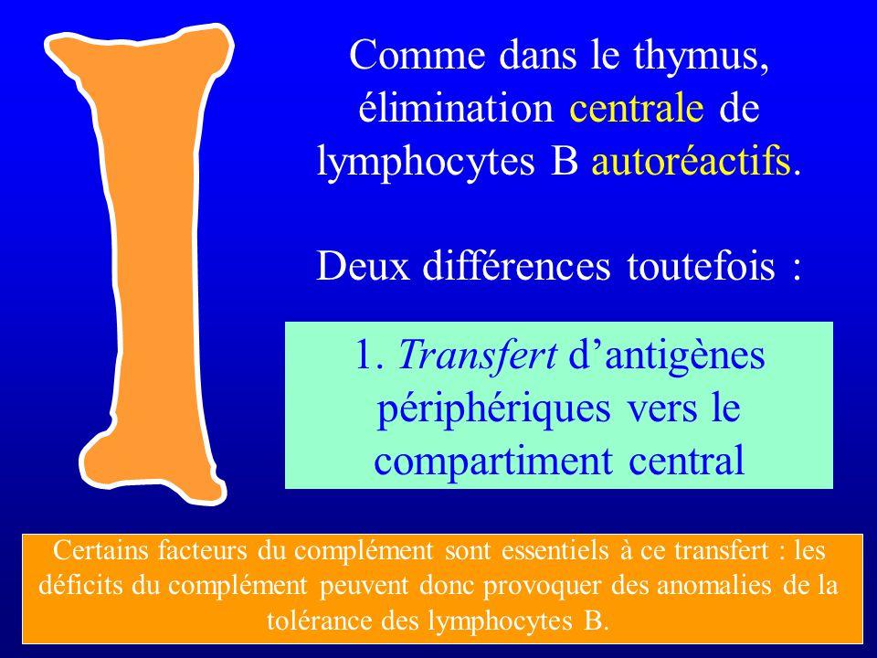 Comme dans le thymus, élimination centrale de lymphocytes B autoréactifs. Deux différences toutefois : 1. Transfert dantigènes périphériques vers le c