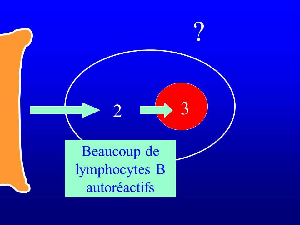 2 3 Beaucoup de lymphocytes B autoréactifs ?