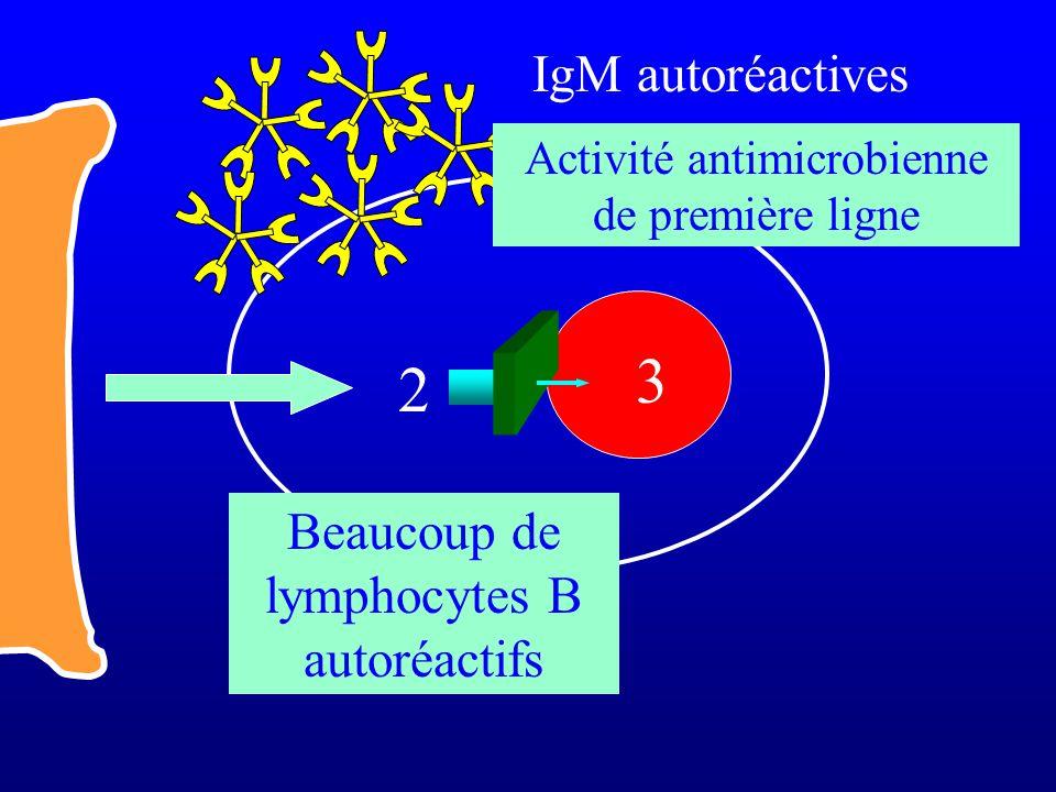 2 3 Beaucoup de lymphocytes B autoréactifs IgM autoréactives Activité antimicrobienne de première ligne