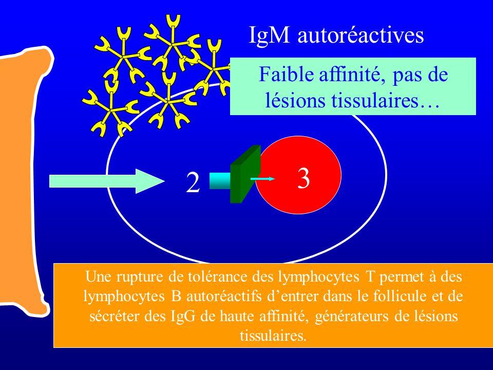 2 3 IgM autoréactives Faible affinité, pas de lésions tissulaires… Une rupture de tolérance des lymphocytes T permet à des lymphocytes B autoréactifs