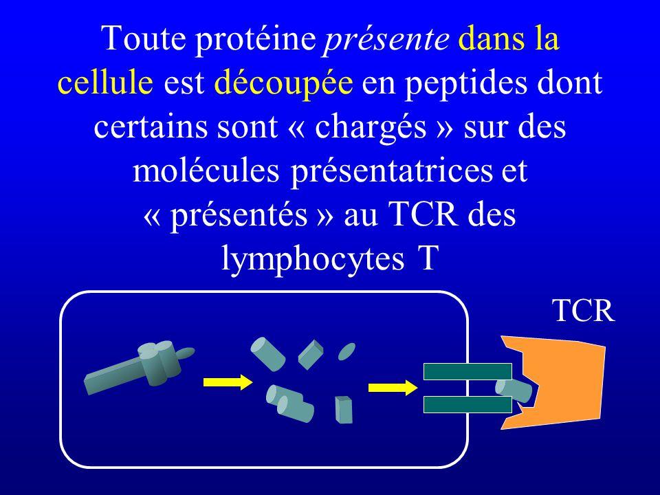 Toute protéine présente dans la cellule est découpée en peptides dont certains sont « chargés » sur des molécules présentatrices et « présentés » au T