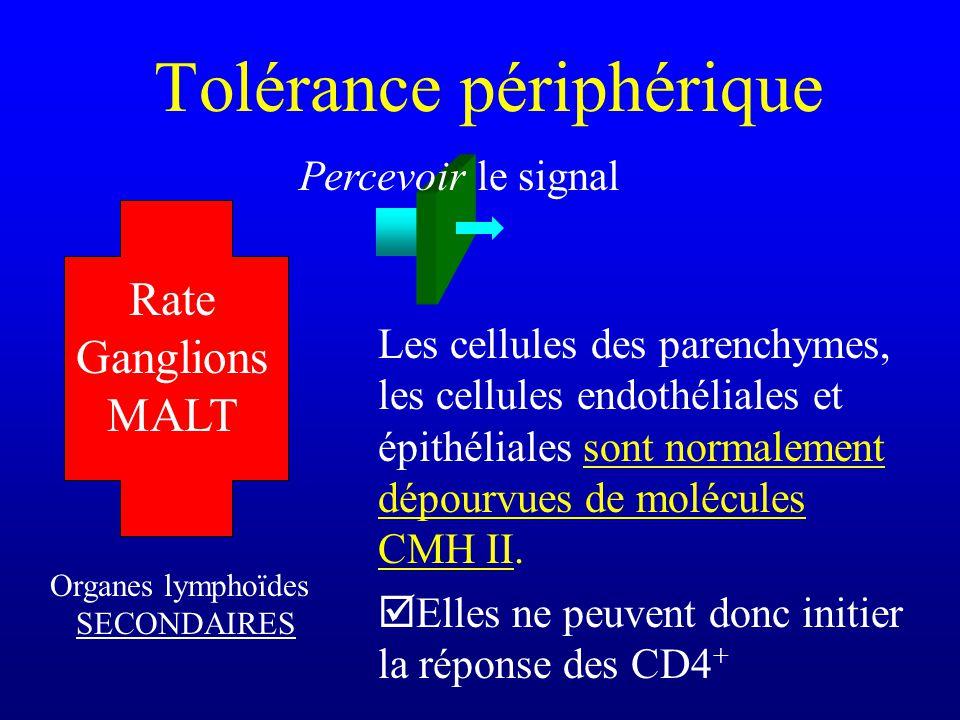Les cellules des parenchymes, les cellules endothéliales et épithéliales sont normalement dépourvues de molécules CMH II. Elles ne peuvent donc initie