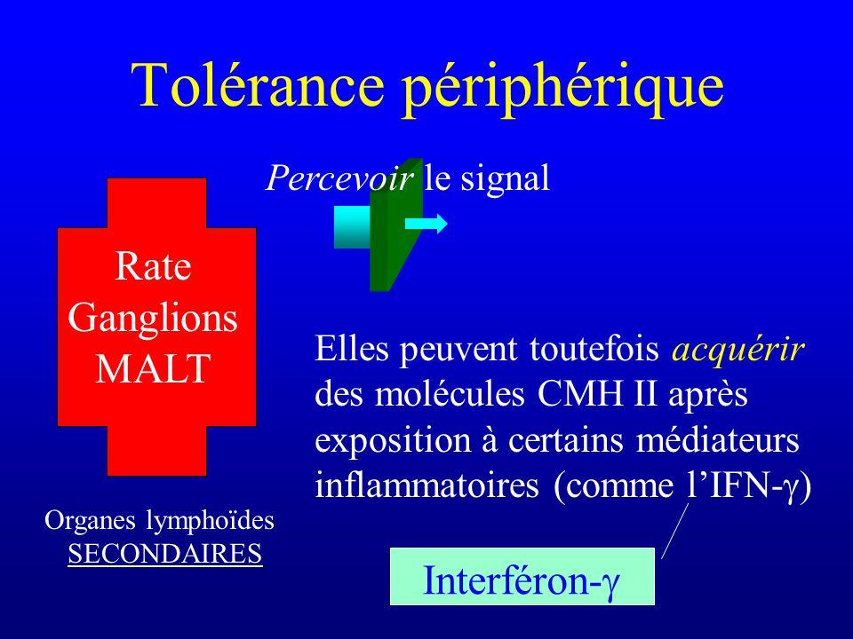 Elles peuvent toutefois acquérir des molécules CMH II après exposition à certains médiateurs inflammatoires (comme lIFN- ) Tolérance périphérique Orga
