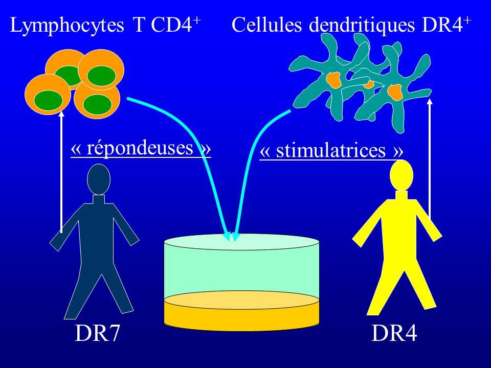 DR7 Lymphocytes T CD4 + DR4 Cellules dendritiques DR4 + « stimulatrices » « répondeuses »
