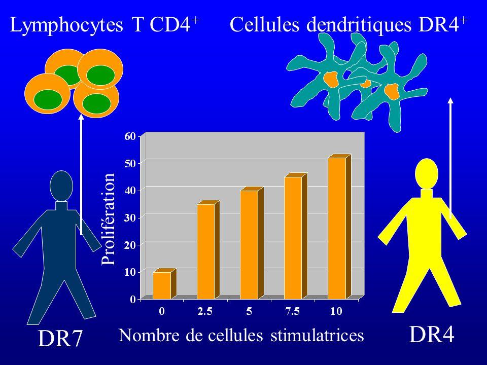 DR7 Lymphocytes T CD4 + DR4 Cellules dendritiques DR4 + Nombre de cellules stimulatrices Prolifération