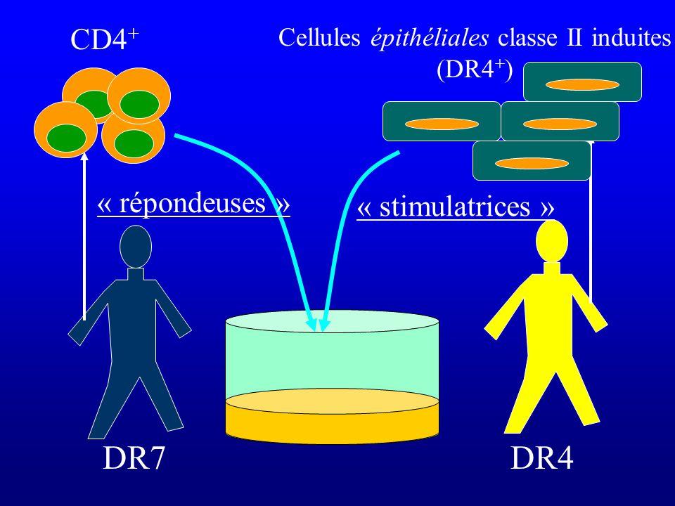 DR7 CD4 + DR4 Cellules épithéliales classe II induites (DR4 + ) « stimulatrices » « répondeuses »
