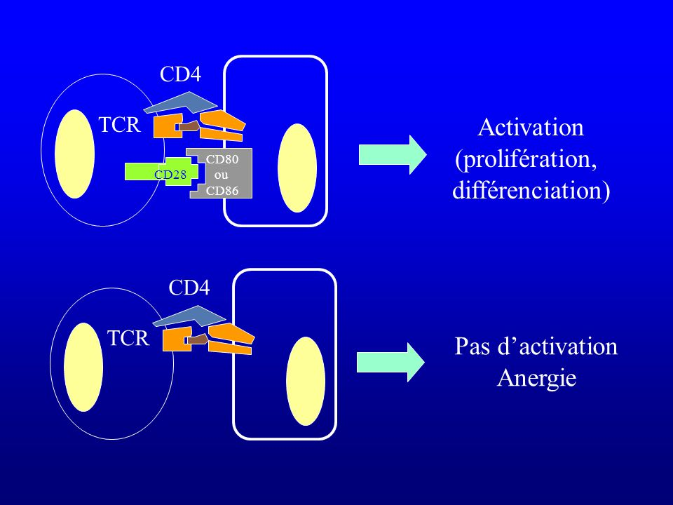 CD28 TCR CD4 CD80 ou CD86 TCR CD4 Activation (prolifération, différenciation) Pas dactivation Anergie