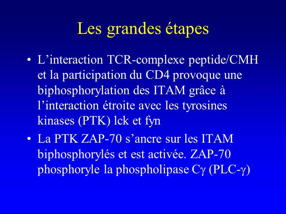 Les grandes étapes Linteraction TCR-complexe peptide/CMH et la participation du CD4 provoque une biphosphorylation des ITAM grâce à linteraction étroi