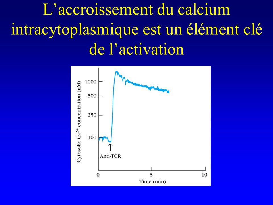 Laccroissement du calcium intracytoplasmique est un élément clé de lactivation