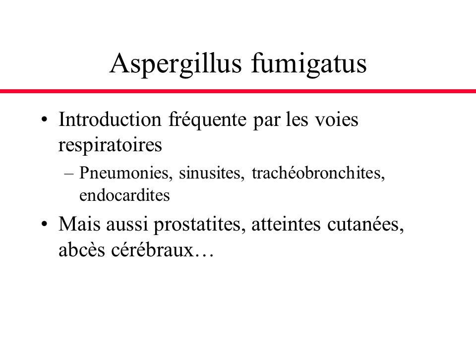 Aspergillus fumigatus Introduction fréquente par les voies respiratoires –Pneumonies, sinusites, trachéobronchites, endocardites Mais aussi prostatite