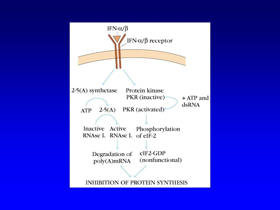 Les défenses antivirales de seconde ligne –Dès que les premières cellules sont infectées, seuls les lymphocytes T cytotoxiques et leurs auxiliaires : les lymphocytes T CD4 + de type Th1, peuvent contrôler linfection virale Toute cellule infectée exprime des peptides viraux présentés par des molécules CMH de classe I La lyse des cellules infectées interrompt la synthèse de nouveaux virion et livre les virions déjà synthétisés à laction neutralisante des anticorps