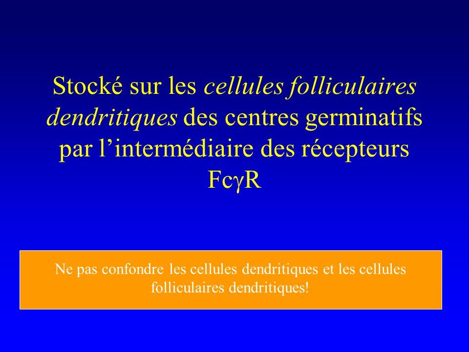 Stocké sur les cellules folliculaires dendritiques des centres germinatifs par lintermédiaire des récepteurs Fc R Ne pas confondre les cellules dendritiques et les cellules folliculaires dendritiques!