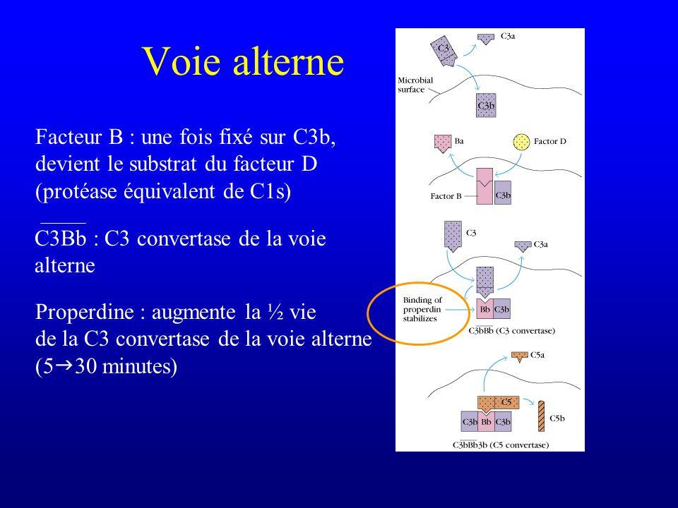 Voie alterne Facteur B : une fois fixé sur C3b, devient le substrat du facteur D (protéase équivalent de C1s) C3Bb : C3 convertase de la voie alterne