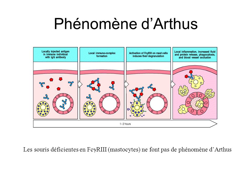 Phénomène dArthus Les souris déficientes en Fc RIII (mastocytes) ne font pas de phénomène dArthus