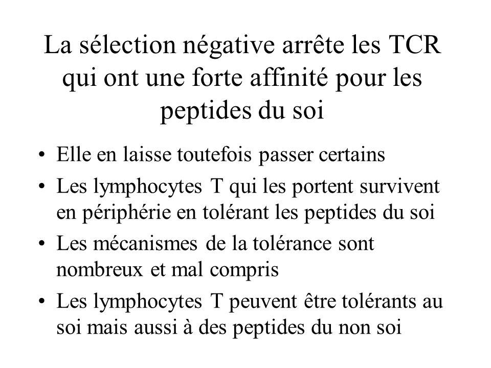 La sélection négative arrête les TCR qui ont une forte affinité pour les peptides du soi Elle en laisse toutefois passer certains Les lymphocytes T qu