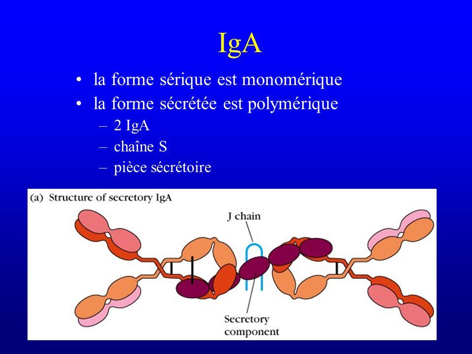 IgA Présente dans le sérum (15% des Ig) mais surtout importante par sa présence dans les sécrétions –digestives –respiratoires –génito-urinaires –coll