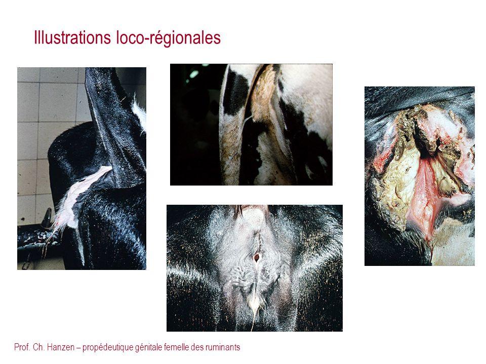 Prof. Ch. Hanzen – propédeutique génitale femelle des ruminants Illustrations loco-régionales