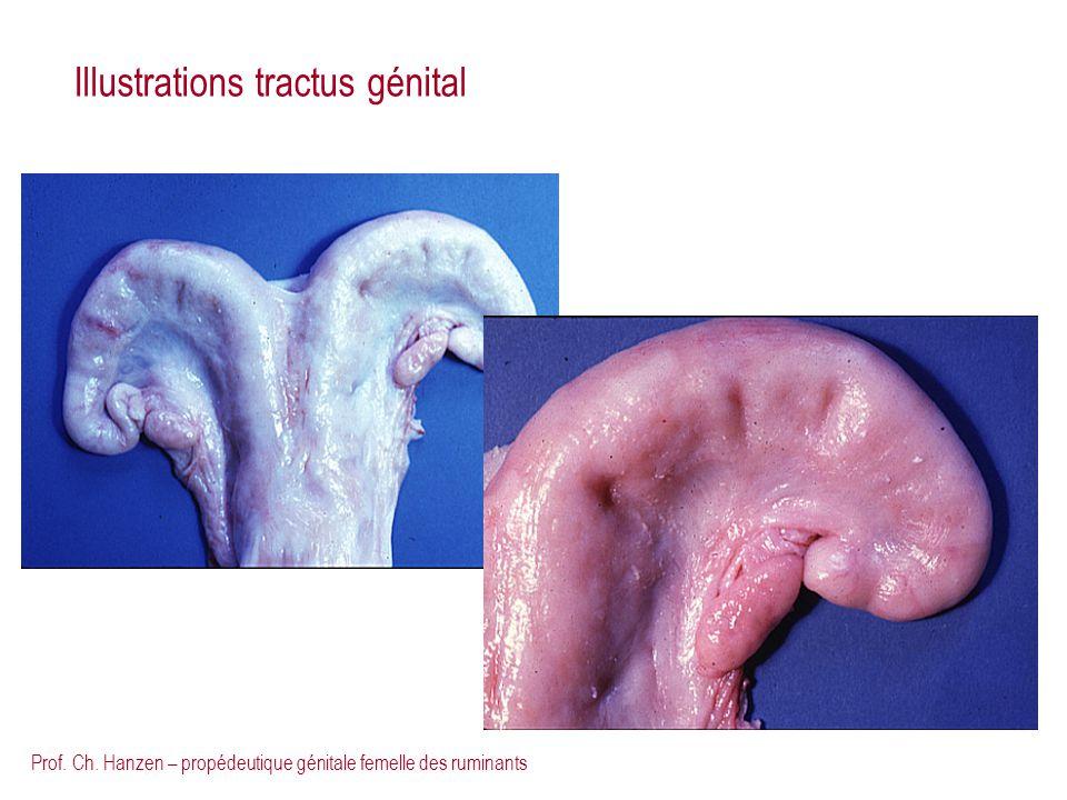 Prof. Ch. Hanzen – propédeutique génitale femelle des ruminants Illustrations tractus génital