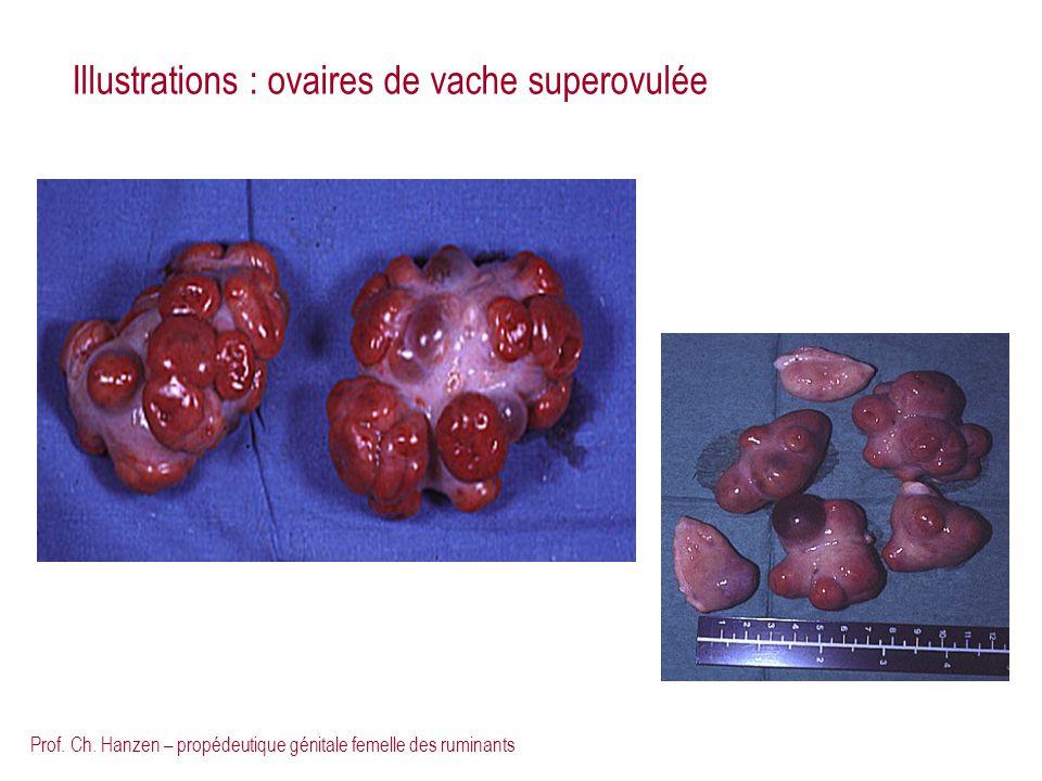 Prof. Ch. Hanzen – propédeutique génitale femelle des ruminants Illustrations : ovaires de vache superovulée