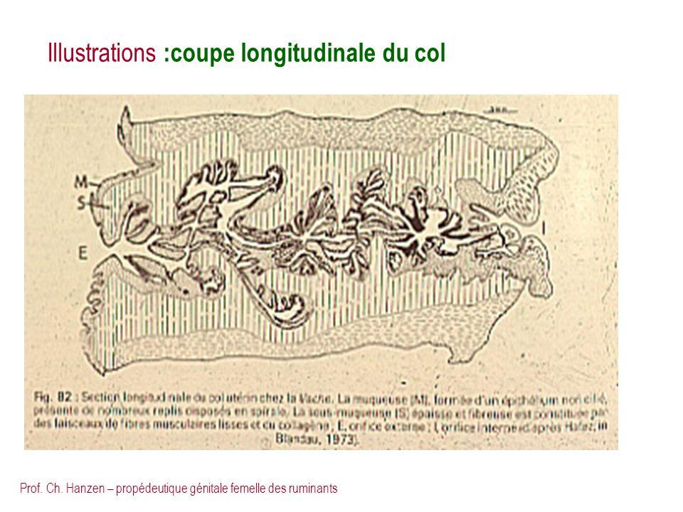 Prof. Ch. Hanzen – propédeutique génitale femelle des ruminants Illustrations :coupe longitudinale du col
