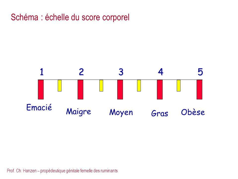 Prof. Ch. Hanzen – propédeutique génitale femelle des ruminants Emacié Maigre Moyen Gras Obèse 12345 Schéma : échelle du score corporel