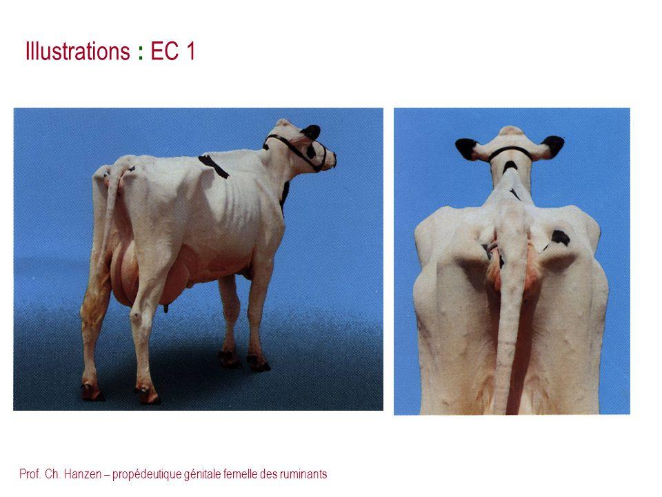 Prof. Ch. Hanzen – propédeutique génitale femelle des ruminants Illustrations : EC 1