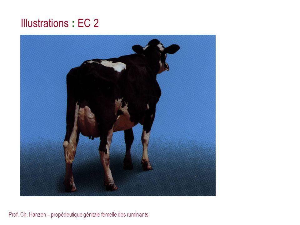 Prof. Ch. Hanzen – propédeutique génitale femelle des ruminants Illustrations : EC 2