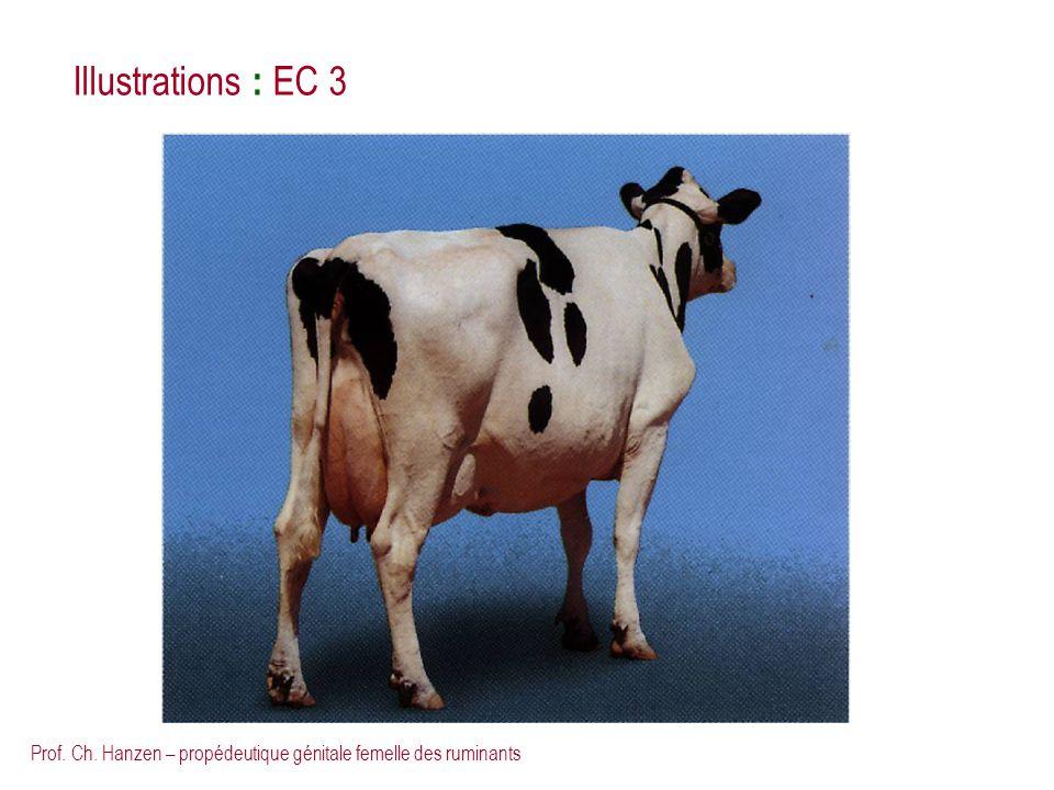 Prof. Ch. Hanzen – propédeutique génitale femelle des ruminants Illustrations : EC 3
