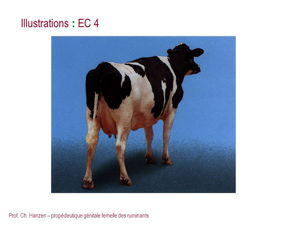 Prof. Ch. Hanzen – propédeutique génitale femelle des ruminants Illustrations : EC 4
