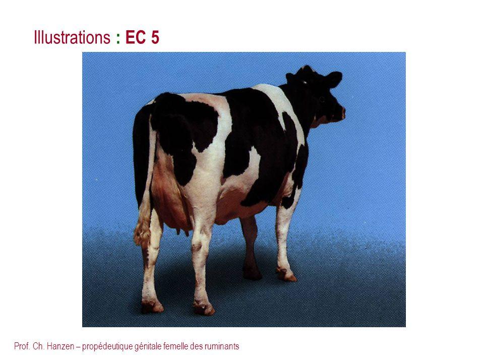 Prof. Ch. Hanzen – propédeutique génitale femelle des ruminants Illustrations : EC 5