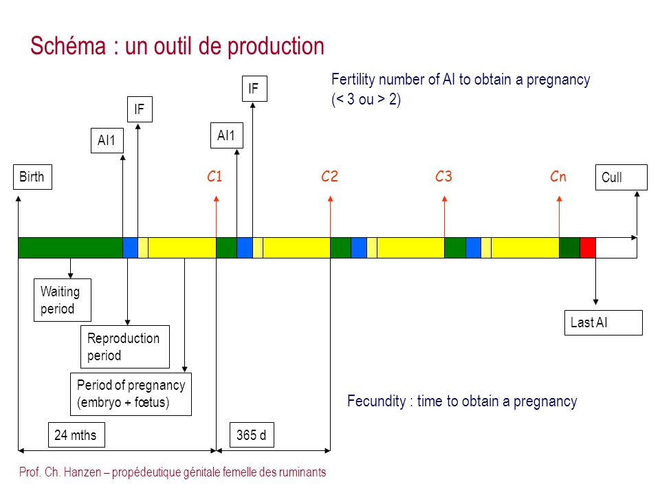 Prof. Ch. Hanzen – propédeutique génitale femelle des ruminants C1C2CnC3 Cull AI1 IF Waiting period Reproduction period Birth Period of pregnancy (emb