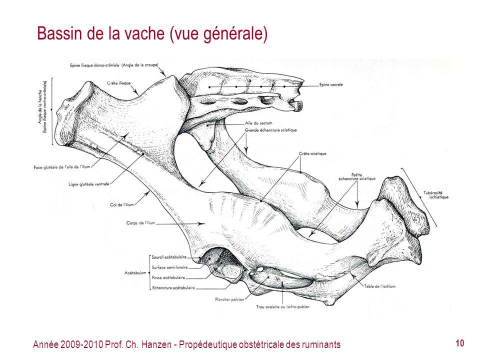 Année 2009-2010 Prof. Ch. Hanzen - Propédeutique obstétricale des ruminants 10 Bassin de la vache (vue générale)