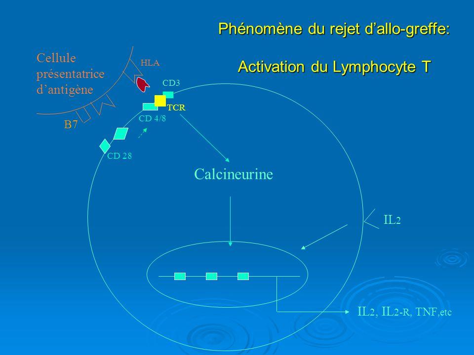 Phénomène du rejet dallo-greffe: Activation du Lymphocyte T TNF, IL 2-R, IL 2, etc IL 2 CD3 TCR HLA Cellule présentatrice dantigène Calcineurine CD 4/8 CD 28 B7 IL2- R 1 2 3
