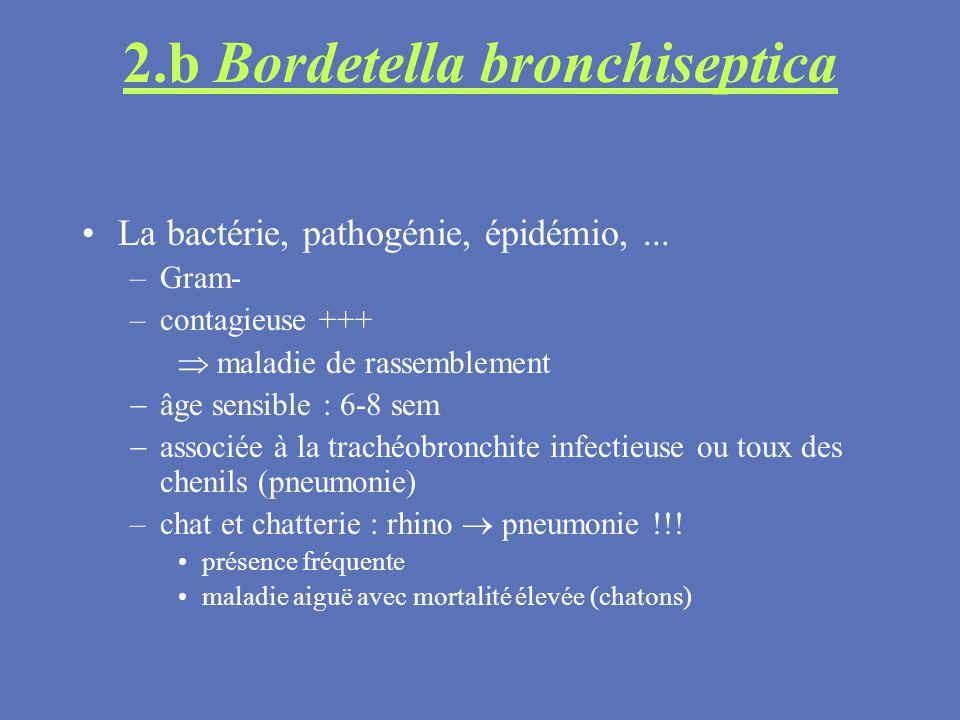 2.b Bordetella bronchiseptica La bactérie, pathogénie, épidémio,... –Gram- –contagieuse +++ maladie de rassemblement âge sensible : 6-8 sem associée à
