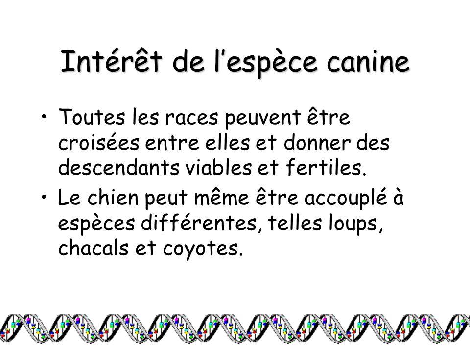 Intérêt de lespèce canine Toutes les races peuvent être croisées entre elles et donner des descendants viables et fertiles. Le chien peut même être ac