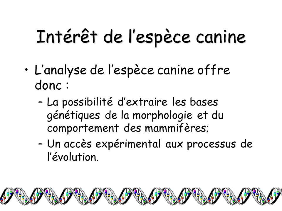 Intérêt de lespèce canine Lanalyse de lespèce canine offre donc : –La possibilité dextraire les bases génétiques de la morphologie et du comportement