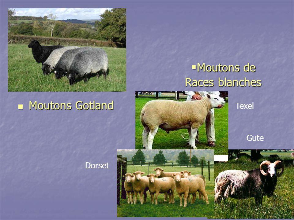 Moutons de Races blanches Moutons de Races blanches Moutons Gotland Moutons Gotland Texel Gute Dorset