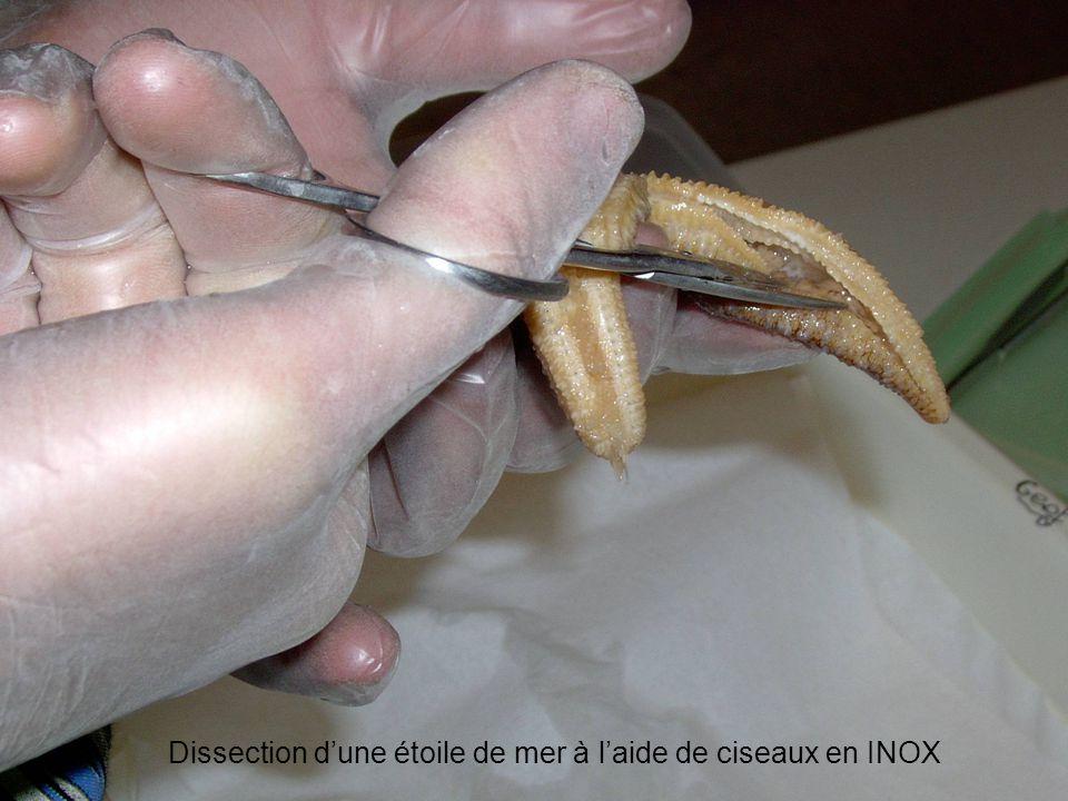 Dissection dune étoile de mer à laide de ciseaux en INOX
