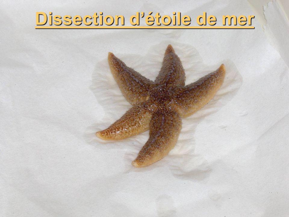 Dissection détoile de mer