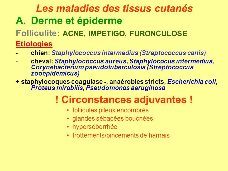 A.Derme et épiderme Folliculite: ACNE, IMPETIGO, FURONCULOSE Etiologies -chien: Staphylococcus intermedius (Streptococcus canis) -cheval: Staphylococc