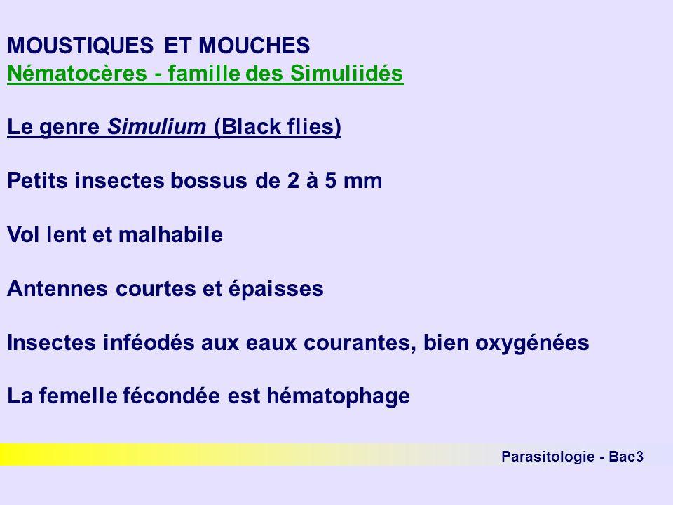 MOUSTIQUES ET MOUCHES Nématocères - famille des Simuliidés Le genre Simulium (Black flies) Petits insectes bossus de 2 à 5 mm Vol lent et malhabile An