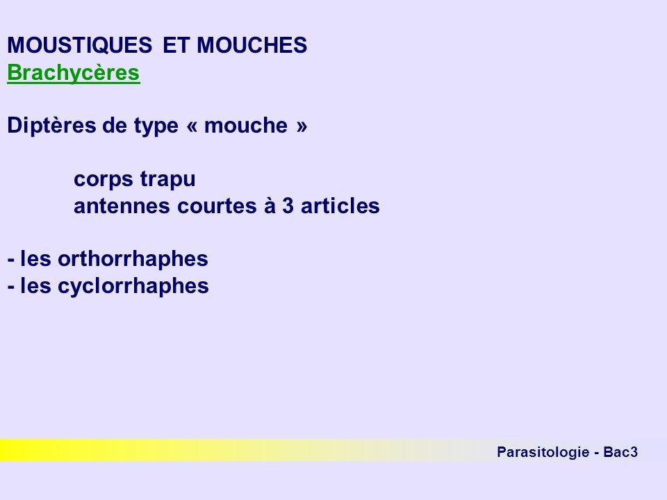Parasitologie - Bac3 MOUSTIQUES ET MOUCHES Brachycères Diptères de type « mouche » corps trapu antennes courtes à 3 articles - les orthorrhaphes - les
