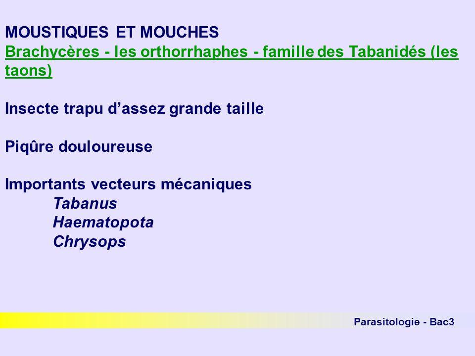 Parasitologie - Bac3 MOUSTIQUES ET MOUCHES Brachycères - les orthorrhaphes - famille des Tabanidés (les taons) Insecte trapu dassez grande taille Piqû