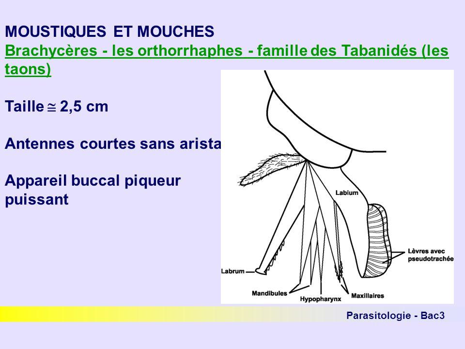 Parasitologie - Bac3 MOUSTIQUES ET MOUCHES Brachycères - les orthorrhaphes - famille des Tabanidés (les taons) Taille 2,5 cm Antennes courtes sans ari